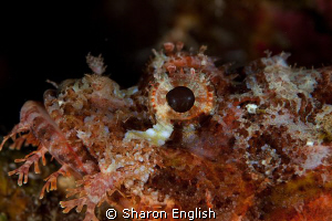 Scorpionfish portrait by Sharon English